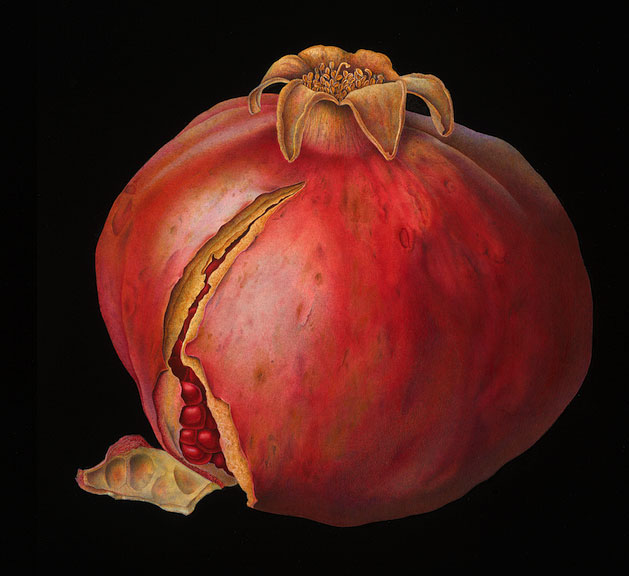 Susannah Blaxill - Pomegranate on black